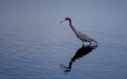 Little Blue Heron on the Hunt Stock Photography