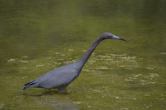 Little Blue Heron. A little blue heron hunting for frogs Royalty Free Stock Photos