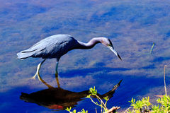 Little Blue Heron Hunting Royalty Free Stock Images