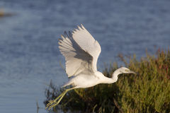 Little Blue Heron II Stock Images
