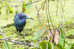Little Blue Heron Stock Photography