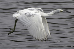 Little Blue Heron Immature. Bird flying over water in swamp royalty free stock image