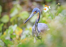 Free Little Blue Heron In Florida Spring Flowers Stock Images - 92426254