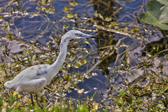 Little Blue Heron, Juvenile Royalty Free Stock Photography