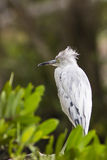 Little Blue Heron Juvenile Stock Photos