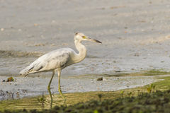 Little Blue Heron Juvenile Stock Images