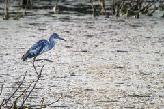 Little Blue Heron Stock Image