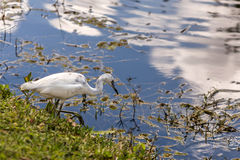 Little Blue Heron, Juvenile Royalty Free Stock Image