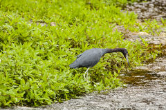 Little Blue Heron Leaning over Water Stock Photo
