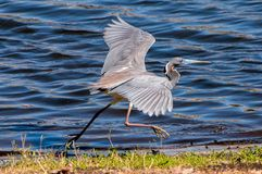 Little blue heron. At the edge of a lake Stock Photos
