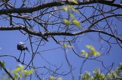 Little Blue Heron stock image
