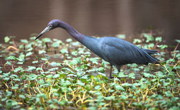 Little Blue Heron looking for fish Stock Photography
