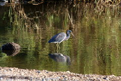 Little blue heron in marsh Stock Photo