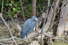 A Little Blue Heron Royalty Free Stock Photo