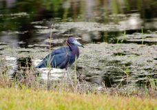 Little Blue Heron, Palm City Florida royalty free stock image