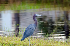Little Blue Heron, Palm City Florida royalty free stock images