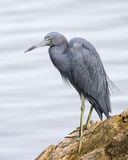 Little Blue Heron Perched on a Log - Florida Royalty Free Stock Photography
