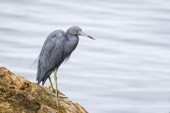 Little Blue Heron Perched on a Log - Florida Stock Photos