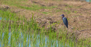 Little Blue Heron at ricefields Stock Photos