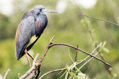 Little Blue Heron. Side-view, close-up image of a little blue heron perched on a twig stock photography