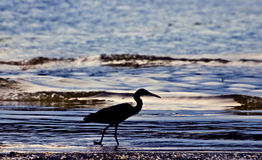 Little blue heron silhouette Stock Photos