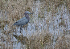 Little Blue Heron Standing Stock Photos