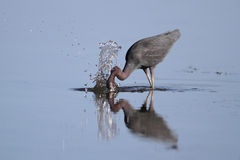 Little Blue Heron Striking at a Fish Royalty Free Stock Photography