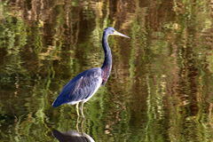 Little blue heron upright Stock Photography