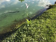 Little blue heron. Wading blue heron in a green river polluted with algae Stock Photo