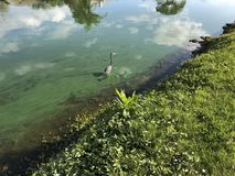 Little blue heron. Wading blue heron in a green river polluted with algae Stock Photos