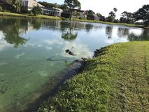 Little blue heron. Wading blue heron in a green river polluted with algae Stock Photography
