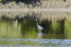 Little Blue Heron wading in shallows. Alert Little Blue Heron wading in shallows Stock Image