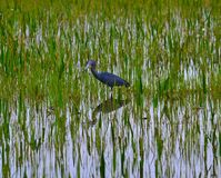 Little Blue Heron (Egretta caerulea) wading. Stock Photo