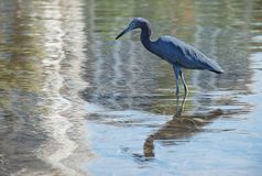 Little Blue Heron wading in water Stock Photos