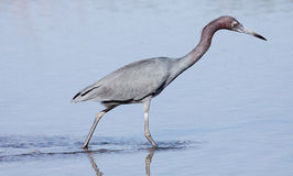 Little blue heron wading Stock Image