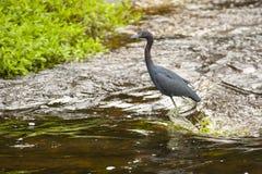 Little Blue Heron Walking through Running Stream Royalty Free Stock Photo