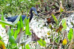 Little blue heron in wetland Royalty Free Stock Photo
