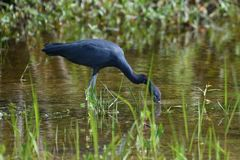 Little Blue Heron. This is a Winter picture of a Little Blue Heron wadding in shallow water hunting for food in the Everglades located in the Big Cypress stock images