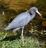 A Little Blue Heron #1. This is a Winter picture of a Little Blue Heron wadding in Water in the Everglades located in Big Cypress National Preserve in Ochopee royalty free stock image