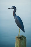 Little Blue Heron On Wooden Piling. Portrait of a Little Blue Heron on a wooden piling with water in the background Royalty Free Stock Photography