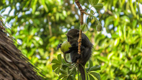 Free Little Blue Monkey Eating Baobab Fruit Stock Photos - 63021233