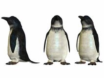 Little Blue Penguin Stock Photos