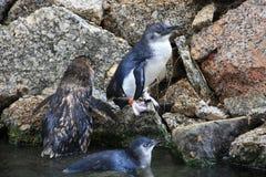 Little Blue Penguins, Eudyptula minor Stock Photos