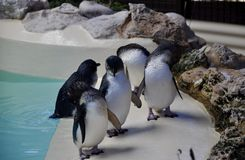 Little Blue Penguins: Penguin Island, Western Australia Stock Photos