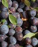 Little blue plums Stock Photography
