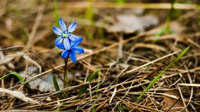 Little blue scilla in old pine needles. Little blue scilla stand in the forest in the morning stock image