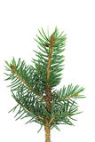 Little blue spruce branch Royalty Free Stock Photos