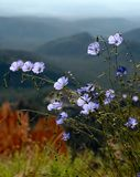 Little blue wildflowers. Alpine wildflowers blooming in Bryce Canyon National Park, Utah Stock Image