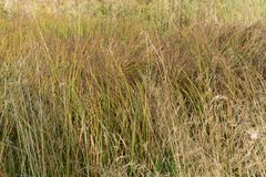Free Little Bluestem On A Cloudy Autumn Day. Also Known As Schizachyrium Scoparium Or Beard Grass, It Is A North American Prairie Grass Royalty Free Stock Image - 132518376