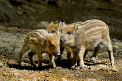 Little boars Royalty Free Stock Photo